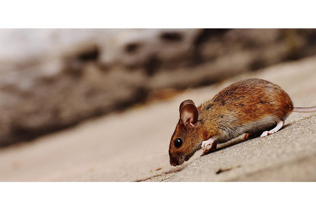 plagas-en-el-hogar-fumigacion-combate-ratones